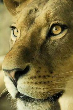 Lioness                                                                                                                                                                                 More