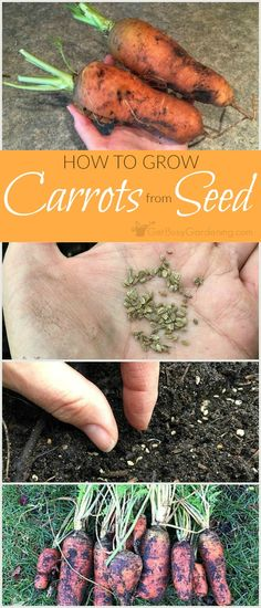 This step-by-step guide for planting carrot seeds shows you exactly how to grow carrots from seed. Includes carrot growing tips & how to harvest carrots. tips carrots Planting Carrots Seeds, How To Plant Carrots, Planting Vegetables, Growing Vegetables, When To Harvest Carrots, Veggies, Gardens, Tomato Plants, Vegetable Garden