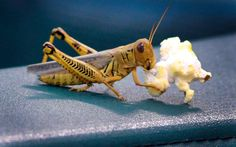 A grasshopper chomps on a piece of popcorn which had been dropped by a fan watching baseball at the Rangers Ballpark  in Arlington, Texas. This is amazing!