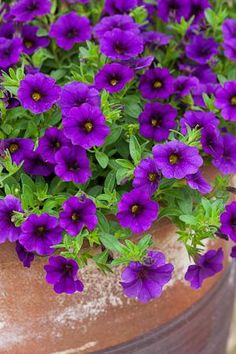 Calibrachoa Cabaret 'Deep Blue' - to be used along rock wall for ceremony.