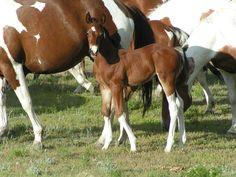 Find, Montana Paint Horses