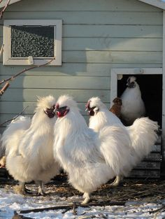 JUST PLAIN COUNTRY CHARM... Fluffy white chickens.