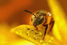 Golden yellow bee with pollen and water drops on leaf.