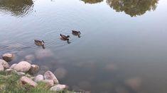 Arizona mallard ducks. Mallard, Ducks, Arizona, Bird, Animals, Animales, Animaux, Birds, Animal