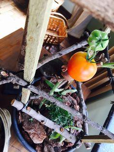 Indoor Tomato Growing 🍅