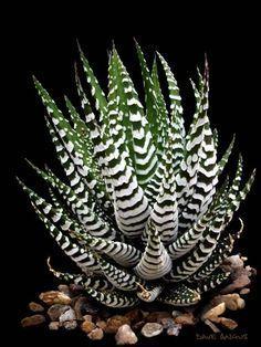 50 Pcs Rainbow Bonsai Aloe Succulent Plants Mini G