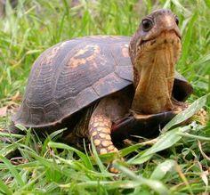 Eastern box turtle.. Isn't he ADORABLE?