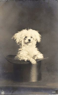 Vintage Maltese, c. 1920s