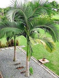 Archontophoenix alexandrae, King Palm