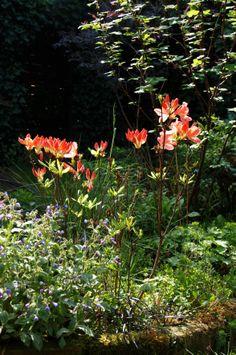 24-04-2014 | De pracht van de Azalea Japonica waarvan de bloemen op openspringen staan. Beloftevol in het ochtendlicht. ©VanLieshout VI | Miniblog My Garden Today