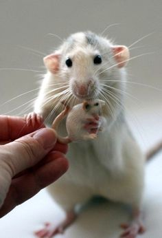 Precious ratty. I love how she has tenderly placed her paw on the person's finger, while clutching her toy with the other. So sweet!
