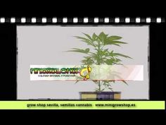 Semilla Canabis Grow Shop