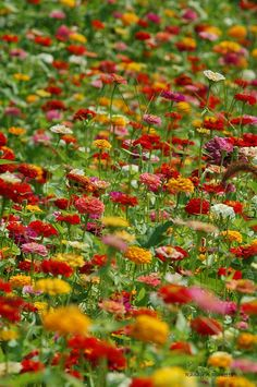 Randy A Ricketts Photograph - Zinnia Garden by Randy Ricketts