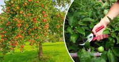 Recept: Så gör du alkoholfri äppelmust snabbt och enkelt | Land Garden Weeds, Land, Pest Control, Guide, Dreams, Green, Tips, Bed Bugs Treatment, Counseling