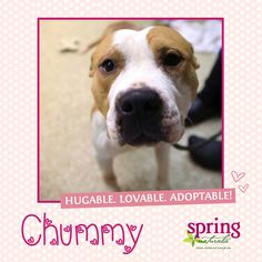 Chummy's a true gentleman who will win your heart! He's available for adoption at Chicago Pit Stop Rescue.  [Hugable. Lovable. Adoptable!]