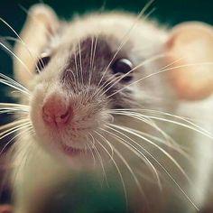Loves rats