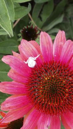 White spider/Echinacea Flower