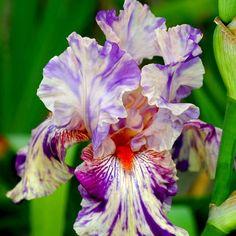 Iris germanica Peach Jam - 1 plant buy online order now