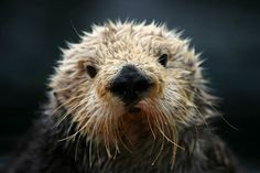 http://www.seaotters.org/