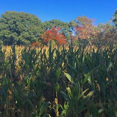Spending the afternoon getting lost in a corn maze on this perfect fall day. . . . . #fall #fallcolors #cornmaze #fallactivities #family #scenesofri #beautifulrhody #rhodeisland_ig #hikinginrhodeisland #riphotographer #capturerhodeisland #johnnyclamcakes #amazingpicturesrhodeisland @ig_providence #w2rhodeisland #visitrhodeisland #wickedrhody #rhodytravel #ig_rhody #401shooters #scenesofnewengland  #newenglandlife #eastcoast  #newenglandpictures  #lovelifeoutside #ignewengland…