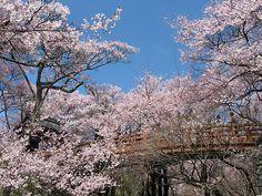 #japan #cherryblossoms #chubu #nagano 高遠城址公園