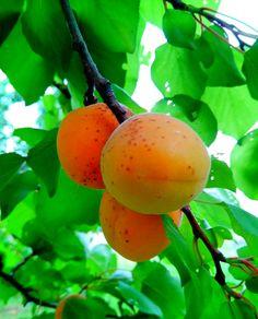 Краснощекый абрикос