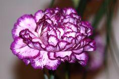 http://www.torange-pt.com/Plants/Flowers/Cravo-968.html Banco de fotos www.tOrange-pt.com livres e grátis Cravo  Tags - #padrão #franja #macro #flor #colorida #rosa #carmesim #pétalas #cravo #branco