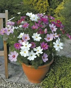 Cosmos 'Sonata Hot Pink Mixed' - 40 plus 20 FREE plug plants - Cosmos & Hot Pink Mixed& – Large, daisy-like flowerheads, that come in an array - Easy To Grow Flowers, Growing Flowers, Planting Flowers, Beautiful Flowers, Container Flowers, Container Plants, Container Gardening, Patio Plants, Outdoor Plants