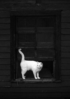 Black & White - white cat black window
