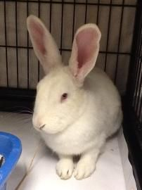 Cinnamon Bun is a 1 1/2 year old New Zealand Rabbit. She has been at the Cleveland APL since September and would like to find her forever home! Please re-pin!