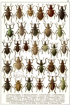 """G.G. Yakobson (1905-1915) - """"Beetles of Russia"""": table 46"""