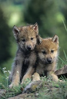 Gray Wolf portrait of pups in the Rocky Mountains of Montana. Captive Animal Gray Wolf-Porträt von Welpen in Rocky Mountains von Montana. Wolf Photos, Wolf Pictures, Animal Pictures, Beautiful Wolves, Animals Beautiful, Cute Baby Animals, Animals And Pets, Wolf World, Wolf Spirit Animal