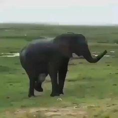 "Olifant Love on Instagram: ""😍🐘💖My favorite kind of Celebration 🐘🐘🔊 • • • • • DM for credits...."" Elephant Ears, Elephant Love, Little Elephant, Wildlife Photography, Wildlife Nature, Nature Animals, Africa, Adventure, Celebrities"