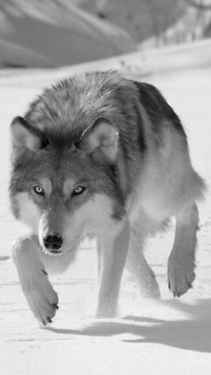 Grey Wolf (Canis lupus) 'Hunting The Prey. Wolf Images, Wolf Photos, Wolf Pictures, Beautiful Wolves, Animals Beautiful, Cute Animals, Wild Animals, Wolf Love, Anime Wolf