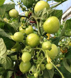 Tomatoes anyone? Going to try making fried green tomatoes soon. #tomatoes #growyourownfood #farmtotable #aeroponic #aeroponics #aeromobilegarden #aero #vine #fallgrowing #harvest by aerogrowing
