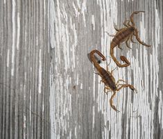 7 Things I've Learned {the hard way} About Scorpions (listed in comments: lavender also repels scorpions)