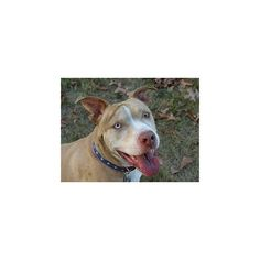 Princess the Pit Bull ❤ liked on Polyvore