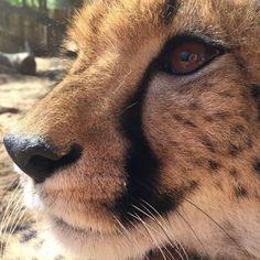 Cheetah Encounter... Isn't she gorgeous  @cangowildliferanch #KYStravels #cheetah #wildlife #oudtshoorn