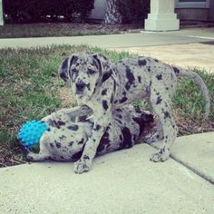 Merle Great Dane Puppy...aww i bet this is what storm looked like when she was a baby!!!