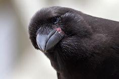 Alala (Hawaiian corvid extinct in the wild): A Magic Moment | San Diego Zoo Global Blog