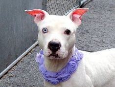 SAFE❤️❤️ 2/15/17 PLEASE LOVE AND KEEP THIS PRINCESS FOREVER❤️❤️ RETURN !! OWN EVICTED! SUPER URGENT 01/31/2017 Manhattan Center KEELA – A0896460 **RETURNED 01/31/2017** SPAYED FEMALE, WHITE, AM PIT BULL TER MIX, 8 yrs SEIZED – ONHOLDHERE, HOLD FOR ID Reason OWN EVICT Intake condition EXAM REQ Intake Date 01/31/2017, From NY 10035, DueOut Date 02/03/2017,