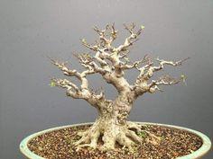 Mame Bonsai, Bonsai Styles, Bonsai Art, Minis, Greenery, Trees, Plants, Photography, Inspiration