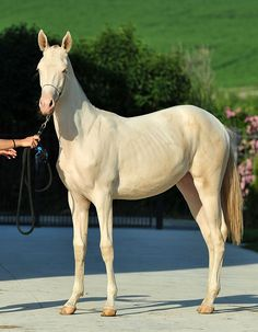 Beautiful #Perlino filly