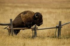 In a Perfect World. - loveandaquestion: Bison Jumping Fence 0460 by Dr. Buffalo Animal, Buffalo Art, Majestic Animals, Animals Beautiful, Nature Animals, Farm Animals, Chow Chow, Musk Ox, Nature