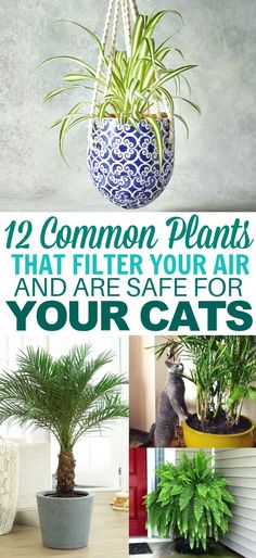 These cat friendly plants are AMAZING at filtering indoor air. They keep my home… These cat friendly plants are AMAZING at filtering indoor air. They keep my home smelling fresh and I don't have to worry because they're nontoxic to cats! Cat Friendly Plants, Cat Friendly Home, Houseplants Safe For Cats, Common House Plants, Cat Safe House Plants, Diy Home Decor For Apartments, Purifier, Terraria, House Smells