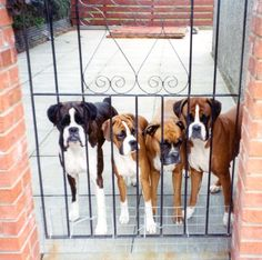 Boxers!    One big happy family.  :) until u try and step into their yard!!!