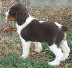 Drury ~ English Springer Spaniel Pup ~ Classic Look & Trim