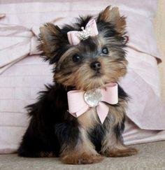 perritos yorkies elegante