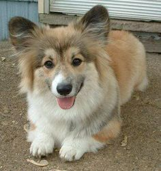 Fluffy corgi. my lovess.