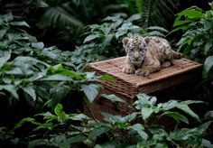 A female Amur tiger cub named Alisha is presented to the public at the Tierpark Berlin zoo in Berlin, Germany, Jan. 22, 2015.  http://abcnews.go.com/Lifestyle/Pets/photos/baby-animals-3351912/image-tiny-tiger-meets-world-28408959